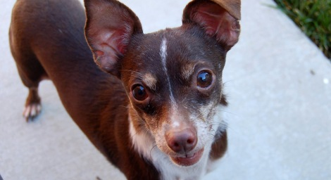 Brewster the Chihuahua - Home 4 the Holidays 10 millionth Adoption!