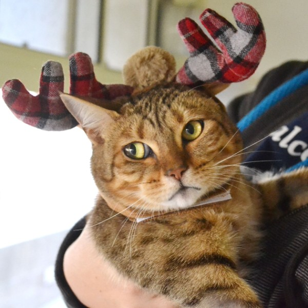 Adoptable a Cat - Cat wearing antlers for Christmas, holiday