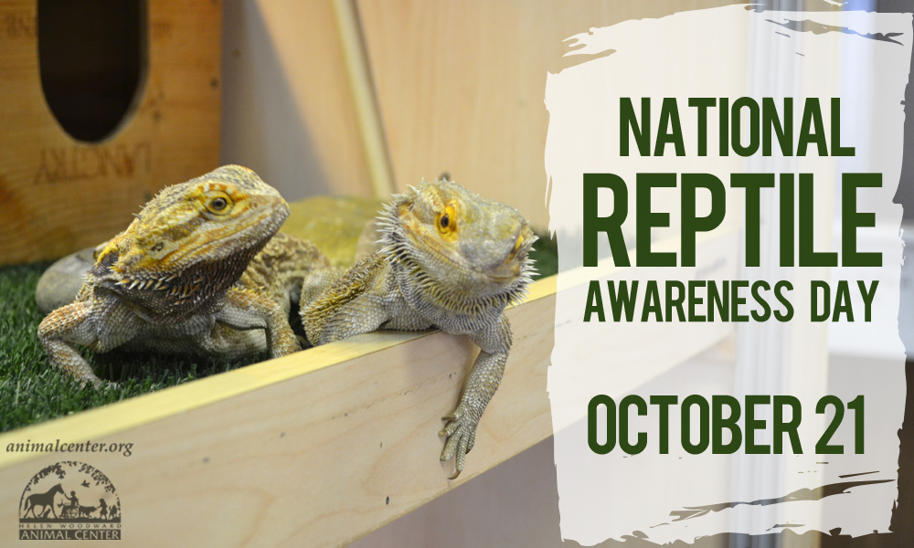 October 21 is National Reptile Awareness Day - bearded dragons